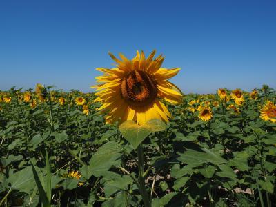 太阳花, 向日葵田, 向日葵, 花, 自然, 植物, 开花