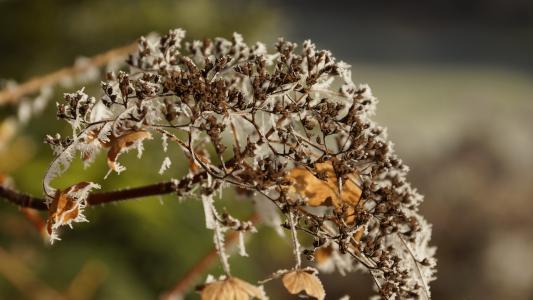 花, 霍滕西亚, 绣球花, 枯萎的, 白色, 冬天, 冰