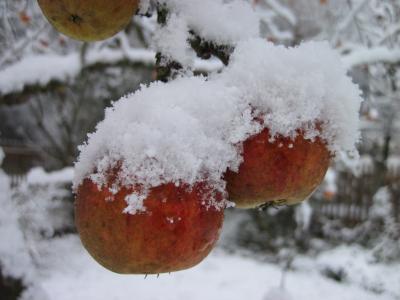 树上苹果, 雪, 红色, 白色, 冬天, 苹果, 自然