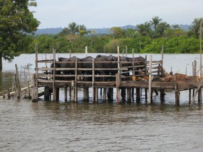 亚马逊, 水牛, 巴西, 南北美洲, 木材-材料, 自然, 水