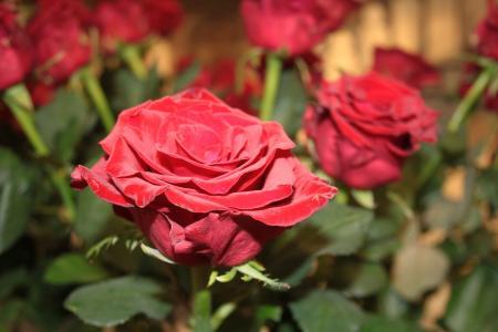 上升, 红色, 红玫瑰, 花, 玫瑰-花, 自然, 花瓣
