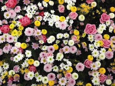 花, 纹理, 花毯, 菊花, 上升, 大丽花, 白色
