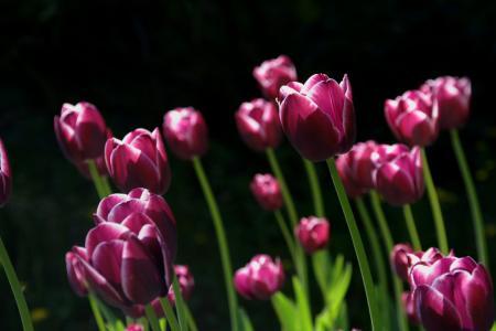 春天, 花, 郁金香, 自然