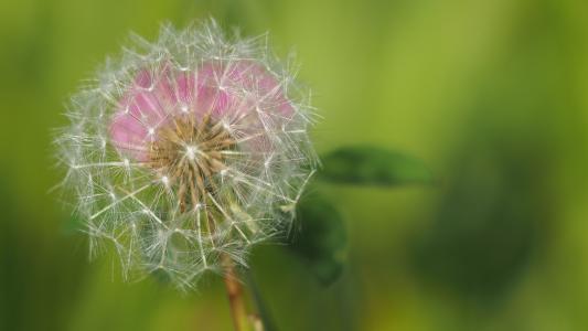 蒲公英, 自然, 宏观, 植物