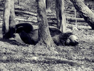 熊, 森林, 动物, 棕色的熊, 野生动物, 捕食者, 哺乳动物