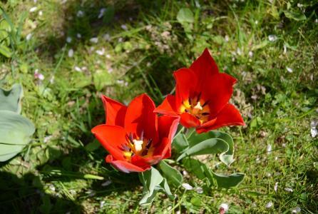 郁金香, 花园, 花, 春天, 自然, 植物区系, 花