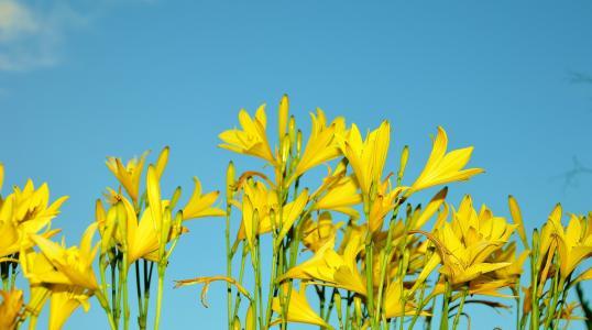 黄色, 花, 花, 太阳花, 植物, 自然, 夏季