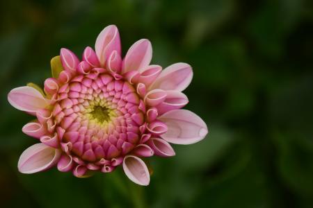 大丽花, 开花, 绽放, 花, 粉色, 大丽花花园, 园林植物