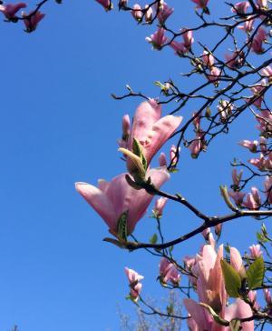木兰, 蔚蓝的天空, 春天, 树, 粉红色的颜色, 自然, 分公司