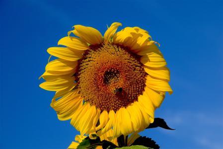 向日葵, 蜜蜂, 天空, 自然, 花, 农业, 黄色