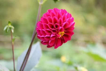 花, 红薯花, 花卉和植物, 自然, 植物, 粉红色的颜色, 花瓣