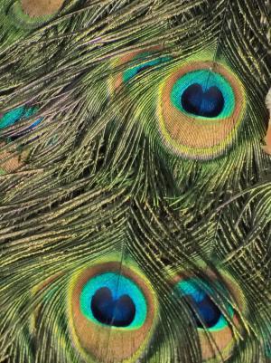 孔雀, 眼睛, 钢笔, 鸟, 羽毛, 羽毛, 动物