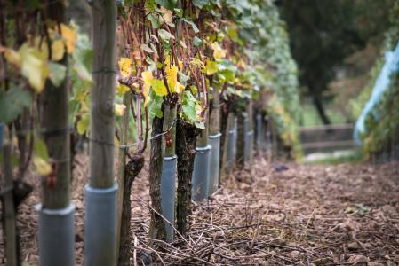 葡萄树, 葡萄藤, 秋天, 黄色, 葡萄酒, 藤叶, 叶子