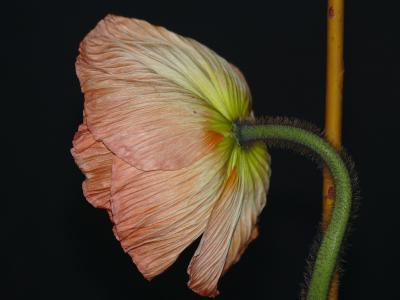 银莲花, 开花, 绽放, 皇冠海葵, 粉色, 花, hahnenfußgewächs