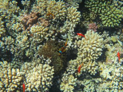 红海, 珊瑚, 埃及, 跳水, 鱼
