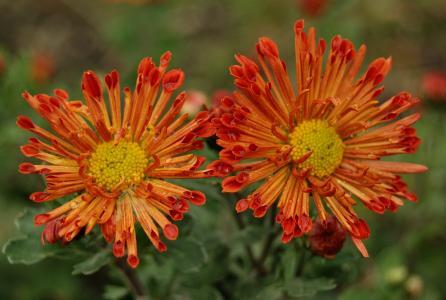 菊花, 哈韦尔, 花, 自然, 植物, 夏季, 黛西