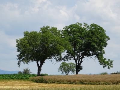 树木, 玉米田, 字段, 云彩, 留茬, 绿色, 自然