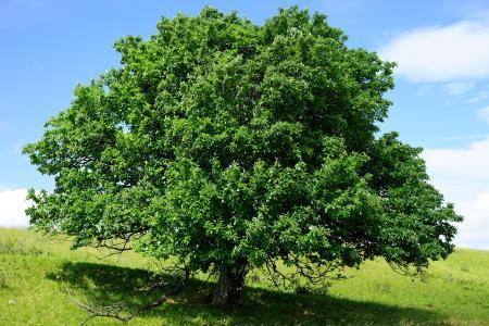 树, 单站, 兰德埃克珥, 真正的 whitebeam, 楸咏叹调, 山楂, 楸