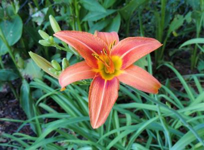 黄花菜, 花香, 植物, 自然, 开花, 绽放, 花瓣