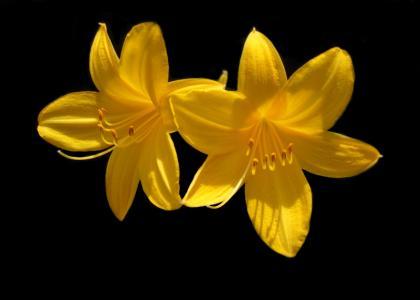 黄花菜, 花, 黄色, 开花, 春天, 绽放, 花香