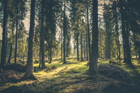 冒险, 气氛, 针叶树, 针叶树, 农村, 黎明, 夏时制