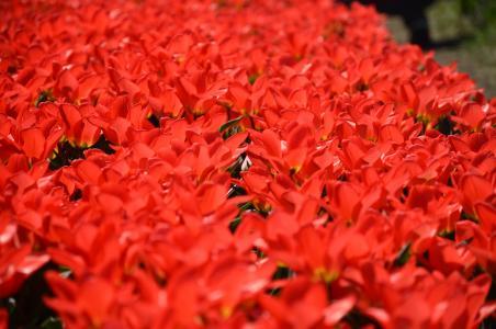 郁金香, 荷兰, 密歇根州, 花, 花园, 多彩, 红色