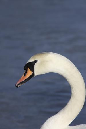 动物, 喙, 鸟, 湖, 天鹅, 水, 白色