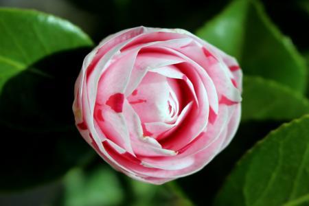 花, 茶花, 自然, 春天