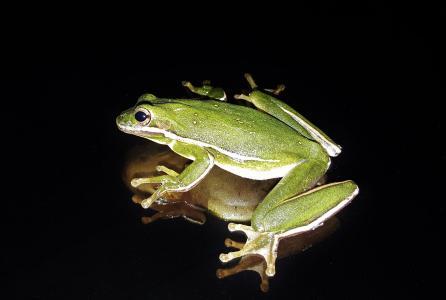 青蛙, 美国绿树蛙, 牢骚, 呱呱地叫, 两栖类动物, 关闭, 动物