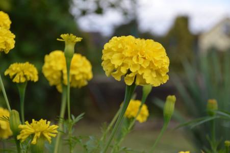 万寿菊, 花, 黄色, 自然, 植物, 花园