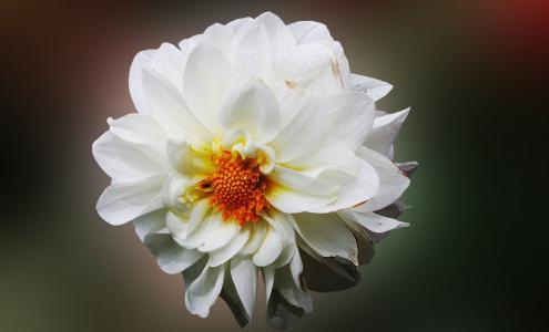 大丽花, 花, 白色, 开花, 自然, 花瓣, 花