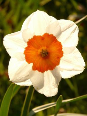 水仙花, 水仙花, 花, 植物, 开花, 绽放, 春天