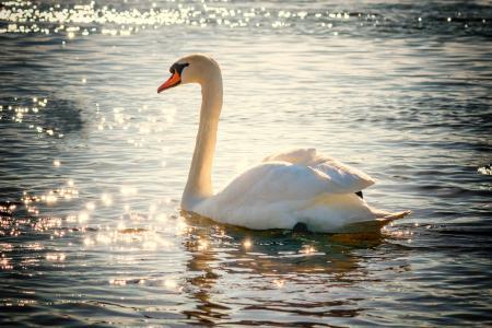 天鹅, 水, 鸟, 湖, 白色, 羽毛, 自然