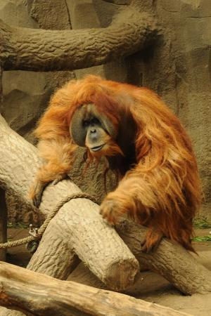 猩猩猩猩, 动物园, 动物, 猴子