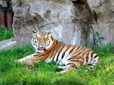 老虎, 动物园, 莫斯科, 动物, 一种动物, 在野外的动物, 野生动物