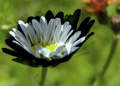 黛西, 白色, 野生花卉, 草甸, 艺术作品, 计算机图形, 创意