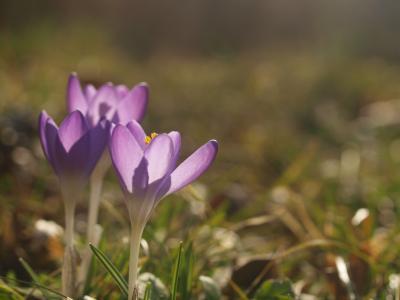 番红花, 春天, 花, 紫罗兰色, 紫色的花