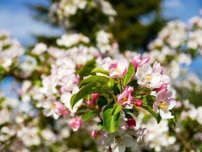苹果树上的花, 树上苹果, 开花, 绽放, 春天, 树, 白色