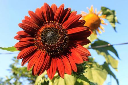 天鹅绒皇后, 向日葵, 植物, 自然, 夏季, 花瓣, 花