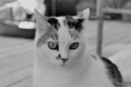 猫, 白色, 动物, 宠物, 猫的眼睛, 猫的脸, 猫的肖像