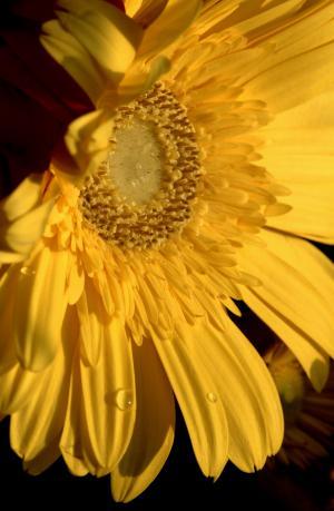 黄色, 花, 春天, 黛西, 花园, 颜色, 开花