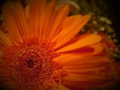 花, 橙花, 非洲菊花卉, 菊, 植物