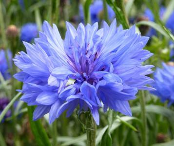 矢车菊, 蓝色, 夏季, 野花, 自然, 紫色, 植物