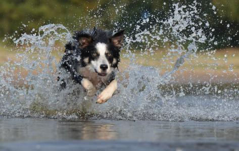 边境牧羊犬, 跳转, 水, 英国牧羊犬, 夏季, 运行, 狗