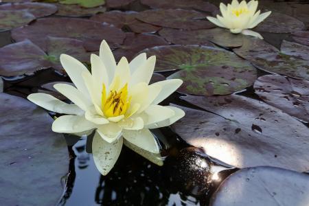 百合, 水, 池塘, 花, 浇花, 水百合, 植物区系