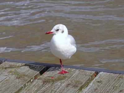 海鸥, 易北河, 鸟, 河, 水