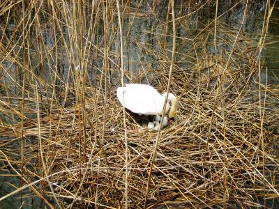 天鹅, 品种, 康斯坦茨湖, 自然, 鸟巢