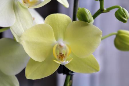 兰花, 黄色, 植物, 花, 关闭, 宏观, 蝴蝶兰花