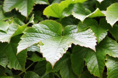 常春藤, 叶, 绿色