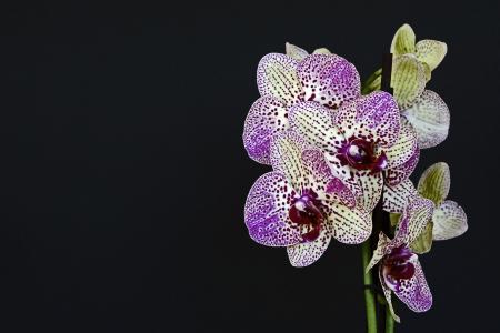 兰花, 花, 开花, 绽放, 白紫, 兰花花, 紫色